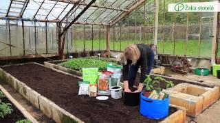 Download Pomidorų ir paprikų daigų sodinimas į vazonus, maišus ar kitas talpas   Augink lengviau! Video