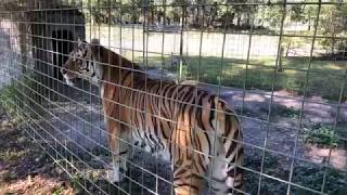 Download Dutchess Tiger goes home from vacation Video