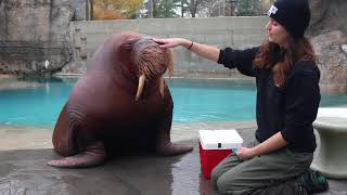 Download Training Time with our Walrus Video