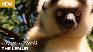Download True Facts: The Lemur Video