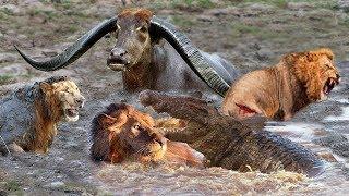 Download Powerful Wild Animals Fight Buffalo vs Lion, Crocodile vs Leopard - Hyena, Tiger, Wild Dog Video