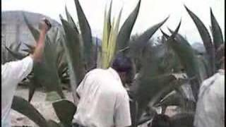 Download The Agave Harvest Video