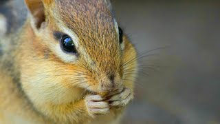Download 8 Hour Video For Pets Featuring Forest Chipmunks - Relax Your Cat Video