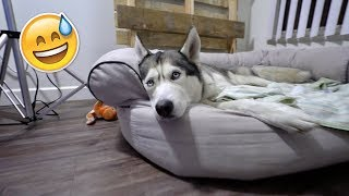 Download Spying on my Husky Alone at Night! - This is What He Does! Video