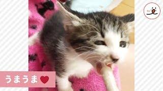 Download 子猫さん、大好きなご飯タイムは前のめりだよっ🍚😍【PECO TV】 Video