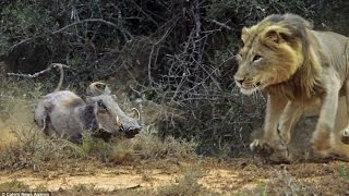 Download lion vs Warthog real fight Video