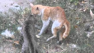 Download Deadly fight between cats Video