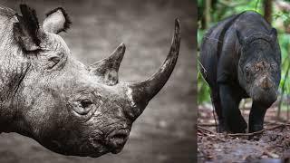 Download Remembering Rhinos Video