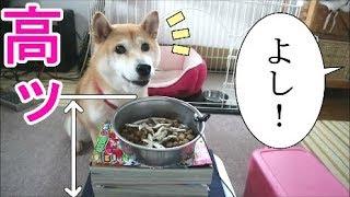 Download 柴犬小春 【検証】朝食時に器の位置が高くなると、食べる?食べない? Video