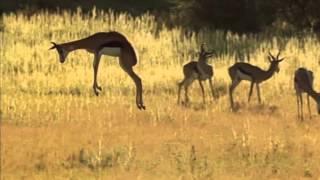 Download Springbok pronking Video