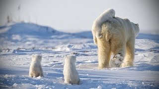 Download Funny POLAR BEARS ★ Funny & CUTE Polar Bears [Funny Pets] Video