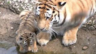 Download Zoo Leipzig - die Tiger Babys - cute Tiger Cubs Video