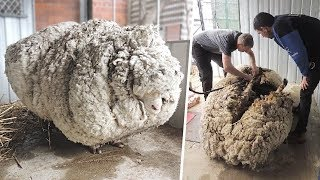 Download A Sheep Disappeared for 5 Years. This Finding Caused a Big Stir and Set a New Record Video