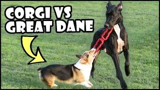 Download CORGI vs GREAT DANE | Short Vs Tall Dogs Video