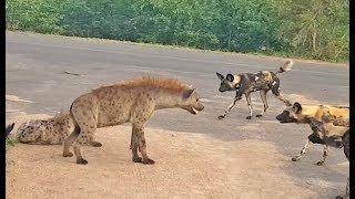 Download Hyena Protects Den From Intruding Wild Dogs Video