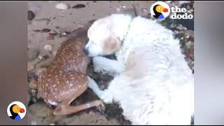 Download BRAVE Dog Saves Deer From Drowning | The Dodo Video