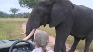 Download Super Close Male Elephant Encounter on WildEarth Live Safari Video