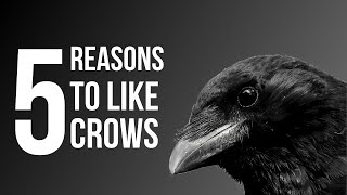 Download 5 Reasons To Like Crows (American Crow) Video