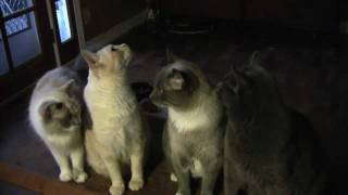 Download Cats Giving Thanks For Thanksgiving - Furball Fables Video