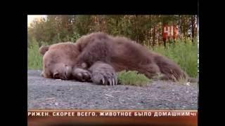 Download Сбили медведя на трассе в Екатеринбурге Video