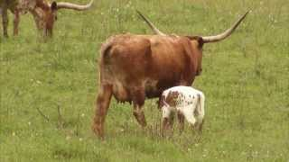 Download Cattle Ranching - America's Heartland: Episode 917 Video