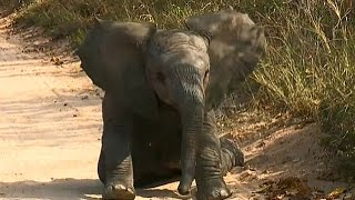 Download SafariLive May 15 Baby elephant plays next to the car Video