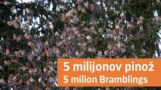 Download 5 milijonov pinož / 5 million Bramblings Video