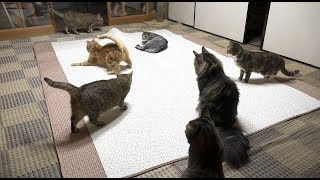 Download 寝る前の楽しそうな猫たち Video