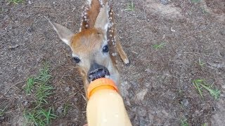 Download Rescued Little BABY Deer on our property Video