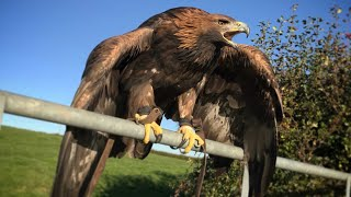 Download Hunting with Golden Eagles, Season 2018 Video