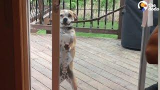 Download Smart Dog Gets Big Stick Through The Door | The Dodo Video