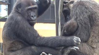 Download ('19/9/21)ゲンタロウとキンタロウ 12⭐️ゴリラ【京都市動物園】Gorilla brothers gentaro & kintaro 12 Video