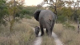 Download SafariLive May 11 - Very tiny baby Elephant! Video