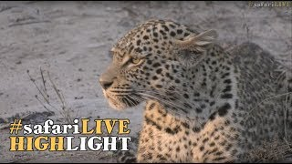 Download A young female leopard gets a taste of adulthood! Video