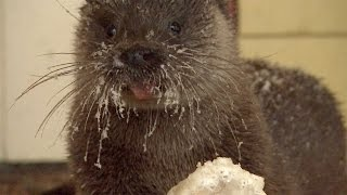 Download Man Becomes Friends With Otter Video