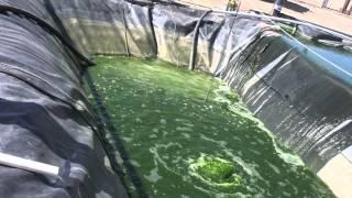 Download Algae: The Future of Biodiesel Video