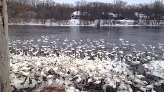 Download Huge Gathering of Trumpeter Swans in Monticello MN .MOV Video