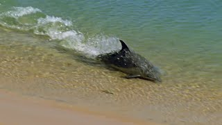 Download Hydroplaning Dolphins - Planet Earth - BBC Earth Video