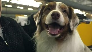 Download Dog Breed Spotlight: Australian Shepherd Video