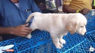 Download ENERGETIC GOLDEN RETRIEVER PUPPIES FOR SALE AT GALIFF STREET PET MARKET KOLKATA Video