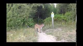 Download Mountain lion gets in guys face! Video
