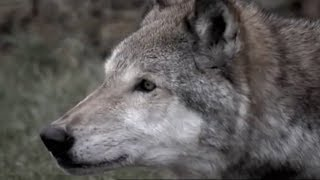 Download Face to Face with a Killer | Lobo | The Wolf That Changed America | BBC Earth Video