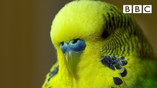 Download Meet Disco the incredible talking budgie | Pets - Wild at Heart - BBC Video