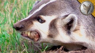 Download DON'T MESS with a Snarly Badger! Video
