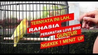 Download RAHASIA PERAWATAN HARIAN LOVEBIRD GUNTUR SUPAYA NGEKEK PANJANG Video