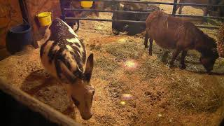 Download Donkey Barn Cam 01-20-2018 17:11:54 - 18:11:54 Video