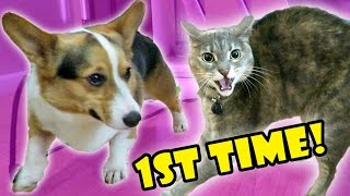 Download CORGI DOG MEETS ANGRY CAT - FAIL || Life After College: Ep. 522 Video