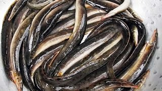 Download Peacock Eel Fish Caught Noodling | Tire Track eel Fish | Zig Zag Eels Fishes | Peacock Eels Fishes Video
