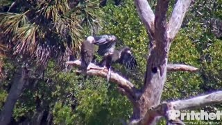 Download SWFL Eagles ~ M15 Delivers Fish Off Nest; E9 Self Feeds on Branch 3.20.17 Video