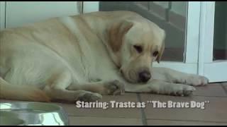 Download Smart Cute Labrador Dog defending the house against a ″dangerous″ intruder Video
